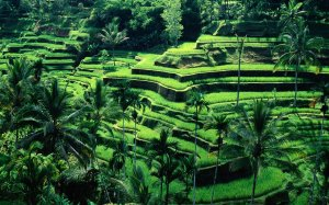 bali-rice-terraces1