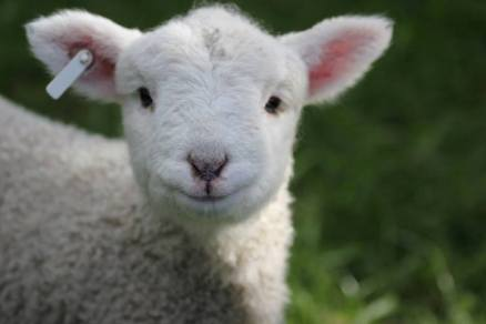 aunt chrissy's lambs