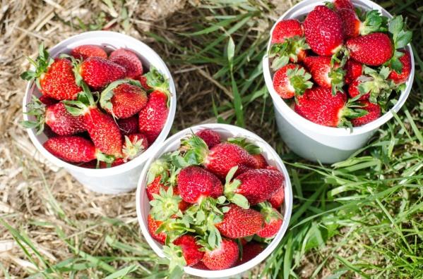 strawberry picking 2015 (12 of 23)