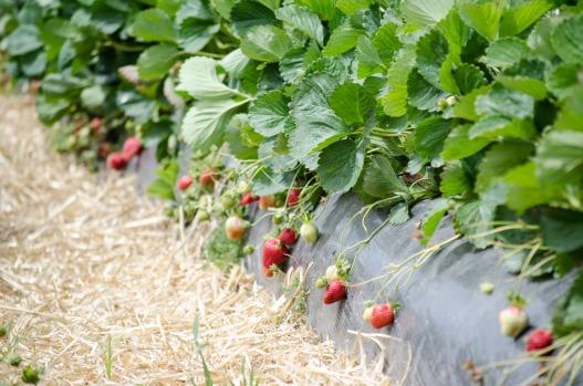 strawberry picking 2015 (21 of 23)