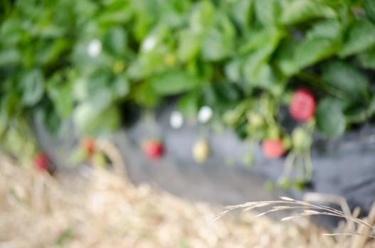 strawberry picking 2015 (22 of 23)